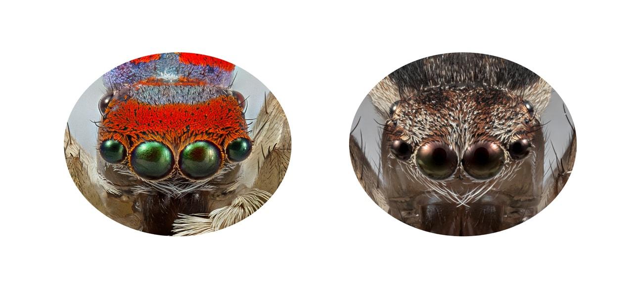 Male peacock spider whole body, Maratus splendans #01, 1 Sep 201