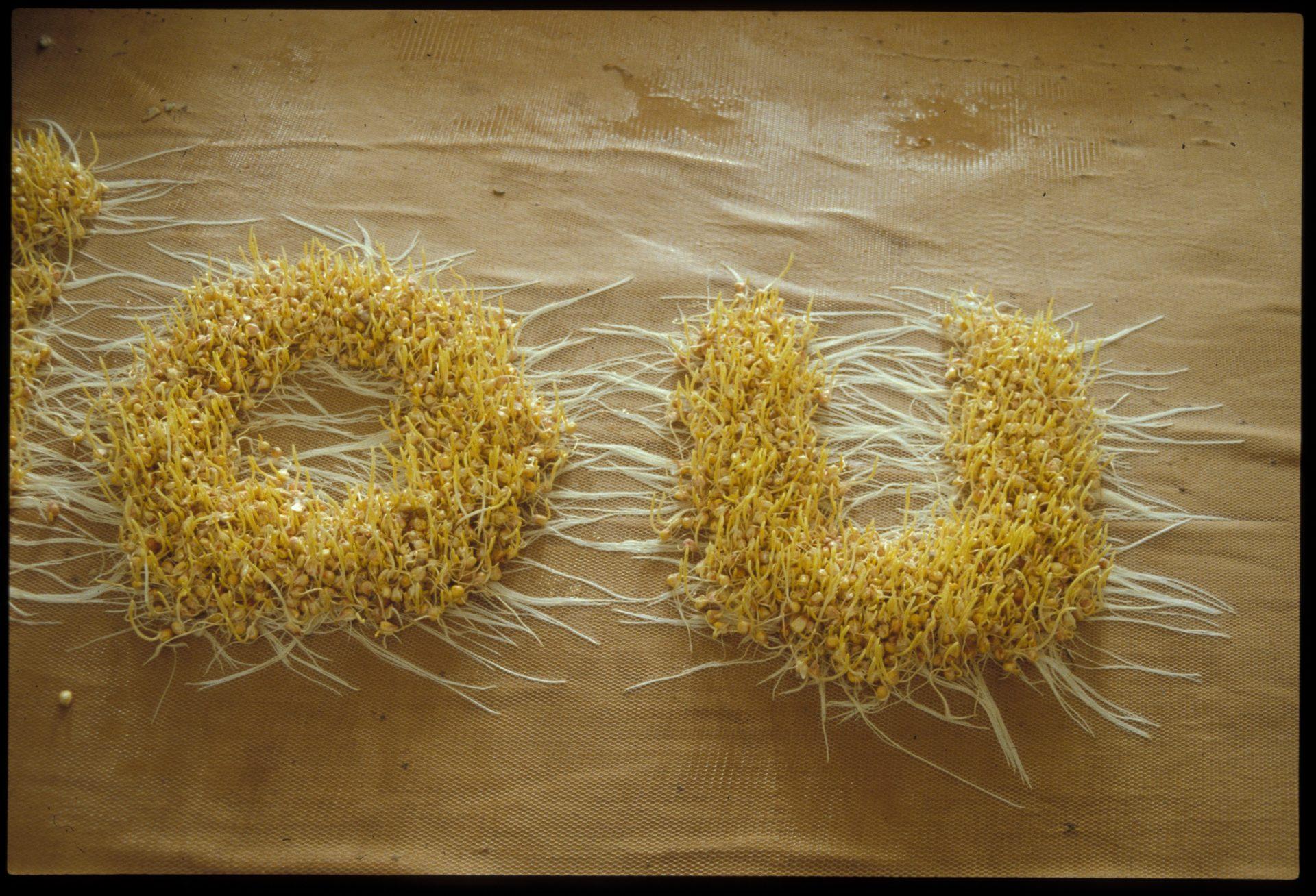 Corn005