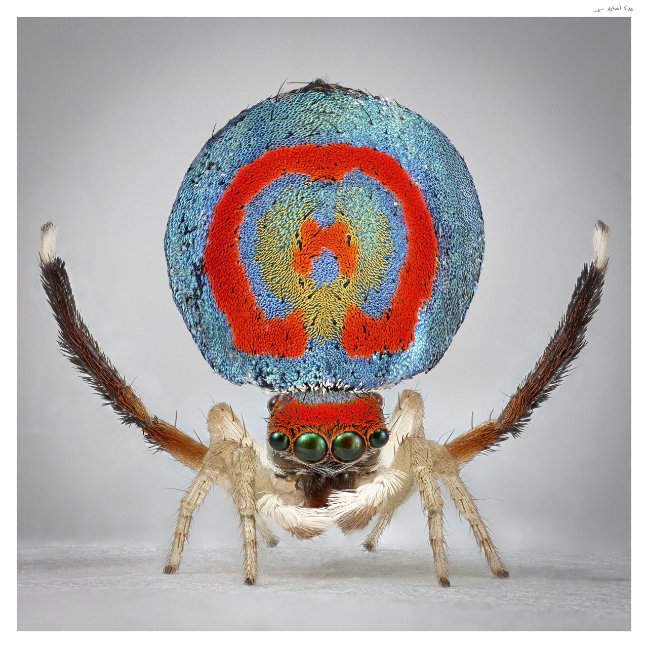Maria Fernanda Cardoso, Male peacock spider whole body, Maratus splendans #15, 1 Sep 2014, Rehead Lagoon. Images courtesy the artist and Sullivan+Strumpf
