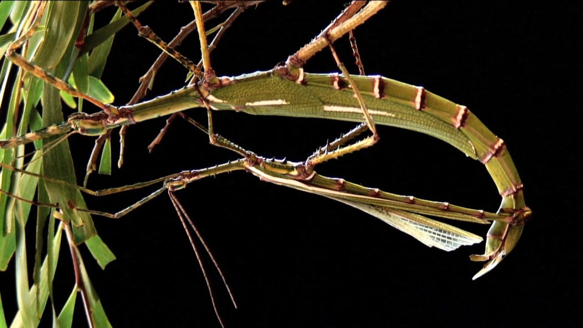 STICK INSECTS MOST INTIMATE MOMENTS