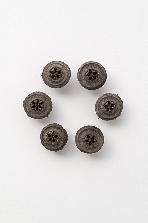 M7_2020_ E.macrocarpa gumnuts in a circle 2