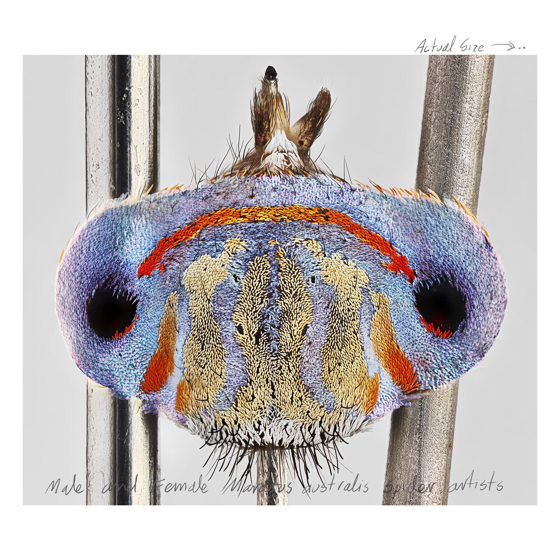 Maratus_australis